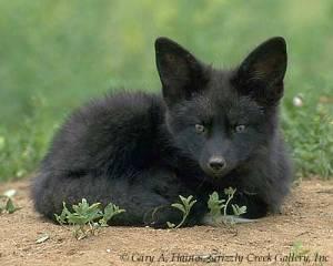BlackFox131